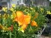 16 perennials daylily