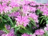 flowers centaura