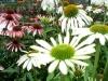 flowers white coneflower