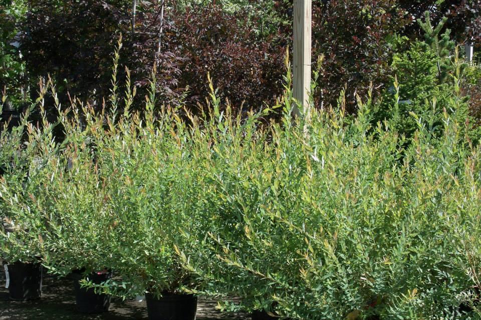 16-shrubs-1