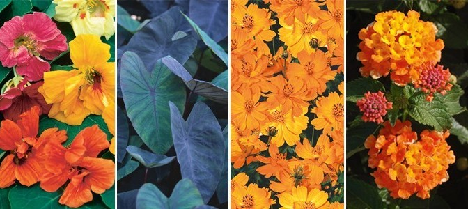 Make room for 'BIG' color in your garden this year!