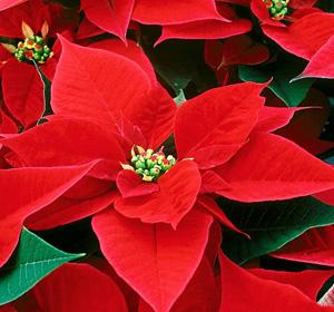Poinsettia Care Tips Sylvan Nursery