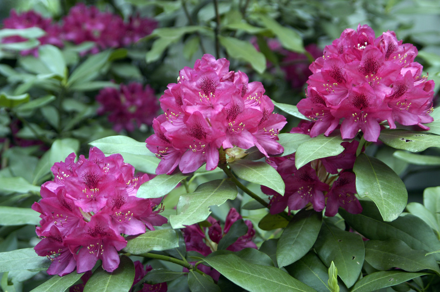 Growing and caring for rhododendrons and azaleas 16 for How to care for rhododendrons after blooming