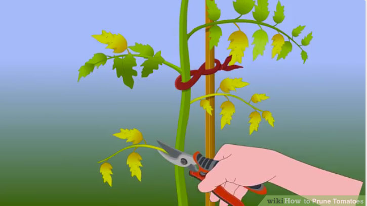 Remove Yellow Leaves Are That Use Up More Sugar Than They Produce As The Plant Begins To Lower Will Naturally