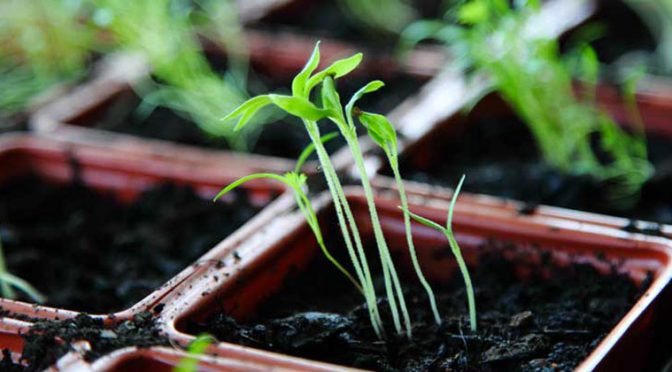 Growing flowering plants from seed: Easier than you think!